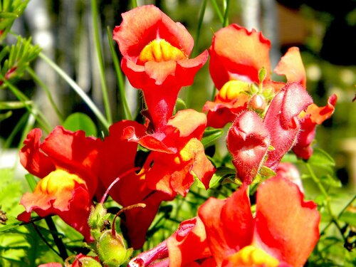 Цветочные собачки*