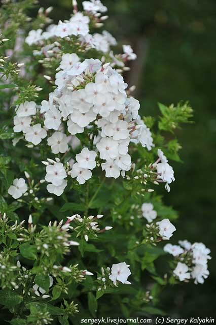 Phlox paniculata Tsvetushy Mindal (2).JPG