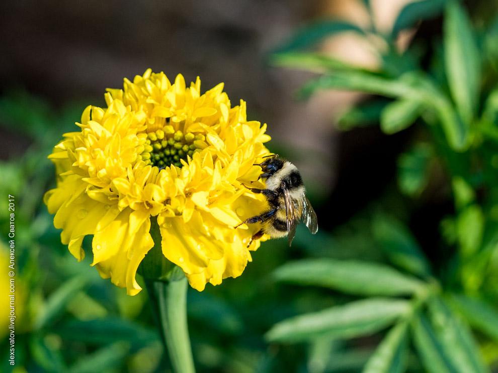 14. Есть они горазды. Наблюдал за одним, пока тот в 27 цветков не залез — не улетел. Это только