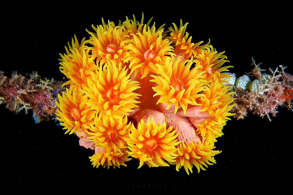 Tubastraea faulkneri - Sun Cup coral