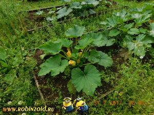 расцветают кабачки