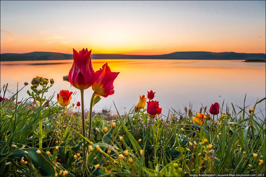 Крымские дикие тюльпаны
