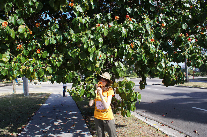 Махо - гибискус высокий (Hibiscus elatus) на площади Революции в Гаване