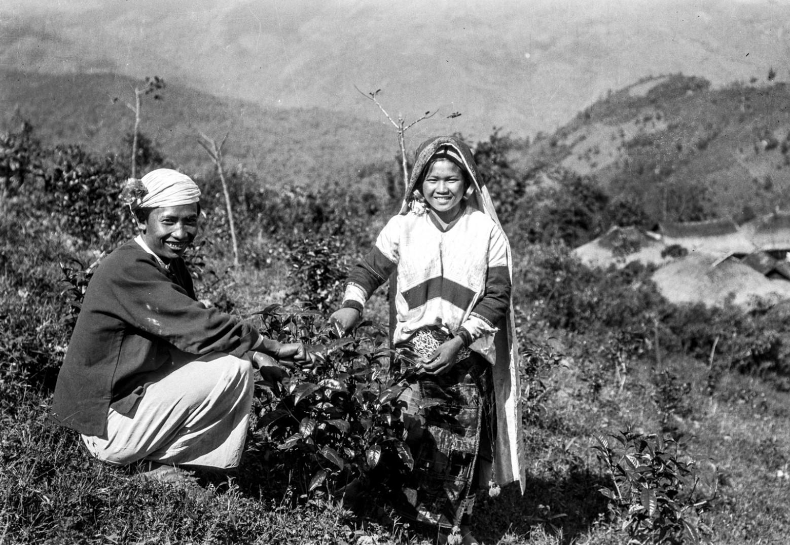 957. Сбор чайных листьев