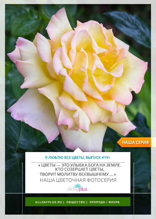 Я люблю все цветы, выпуск 191 | Роза - «Королева цветов».