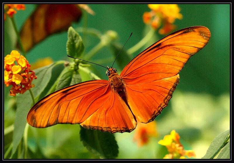 Тропическая бабочка-3.