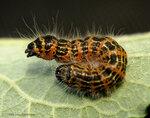 Гусеница лунки серебристой - Phalera bucephala – грозит мне своей пушистой «попой» / Хохлатки - Notodontidae