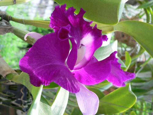 Орхидея. Каттлея
