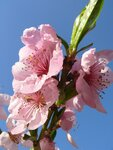 цвет персика