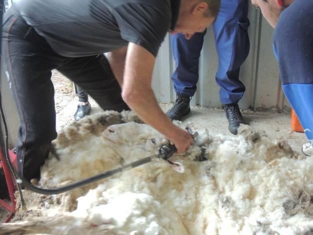 Толстенное шерстяное одеяло.  Овца едва ли видна под шерстью.