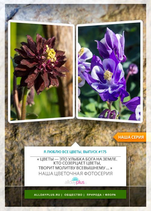 Я люблю все цветы, выпуск 175 | Аквилегия - «цветок-символ богини любви и плодородия Фреи».