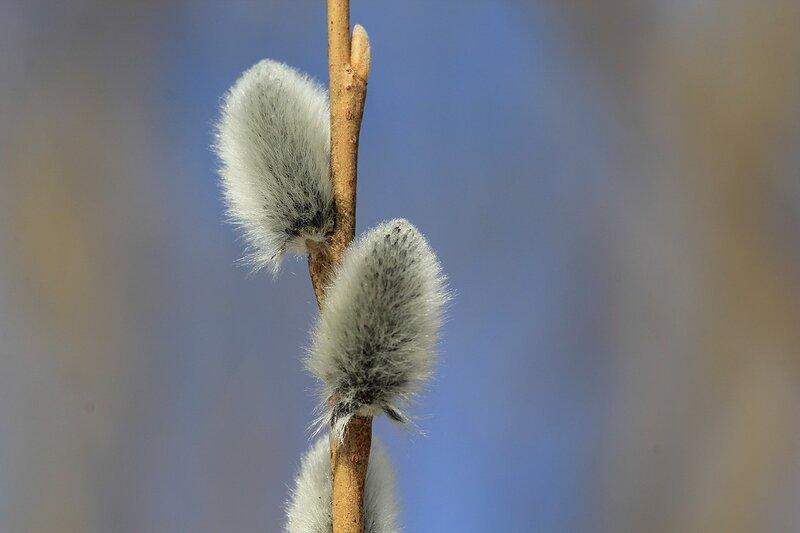 Белые и пушистые почки (цветы) вербы (ивы остролистой, Salix acutifolia, она же краснотал) крупным планом