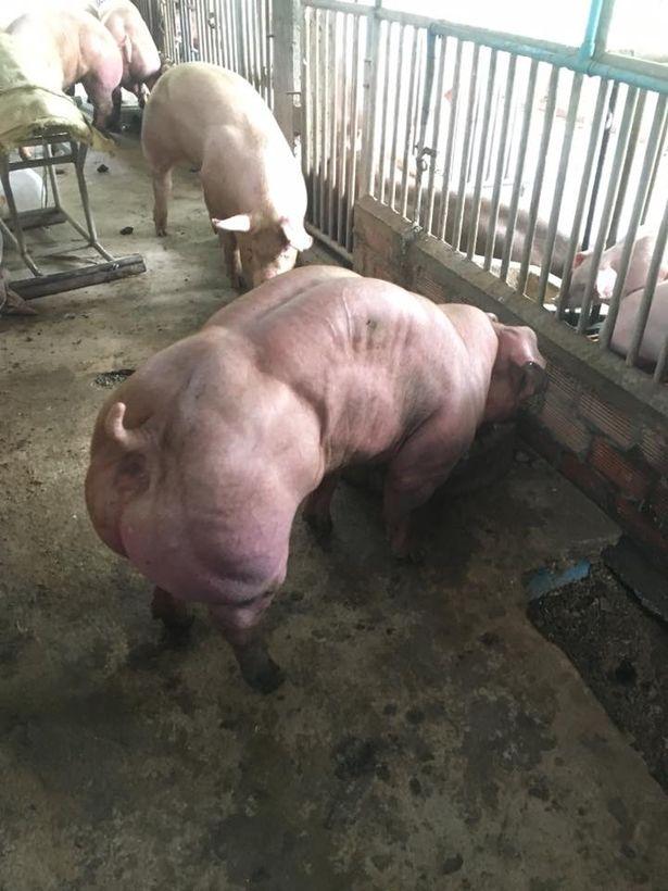 Секс женшины с свиней
