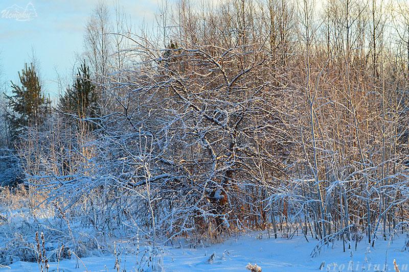 зимняя_яблоня_zimnjaja_jablonja