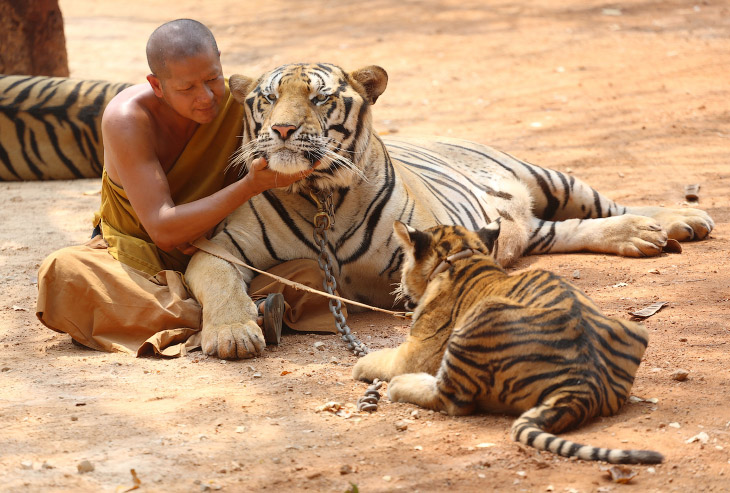 Храм Тигров в Таиланде (23 фото)