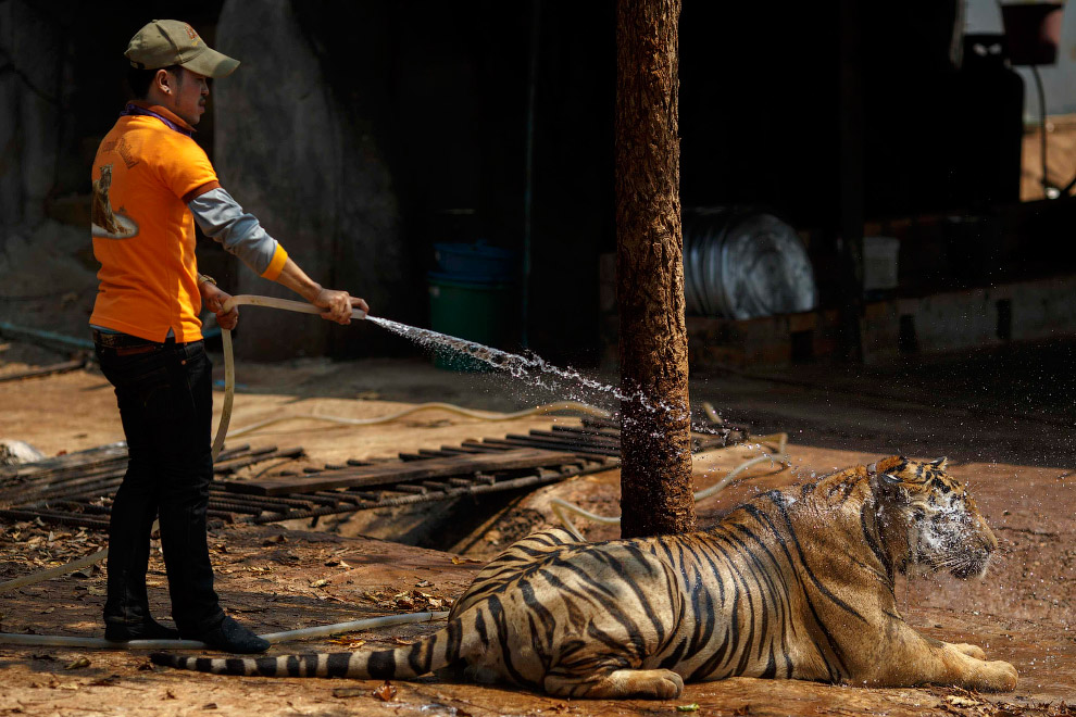 10. Бенгальский тигр является самым многочисленным из подвидов тигра. Это крупные кошки, хотя