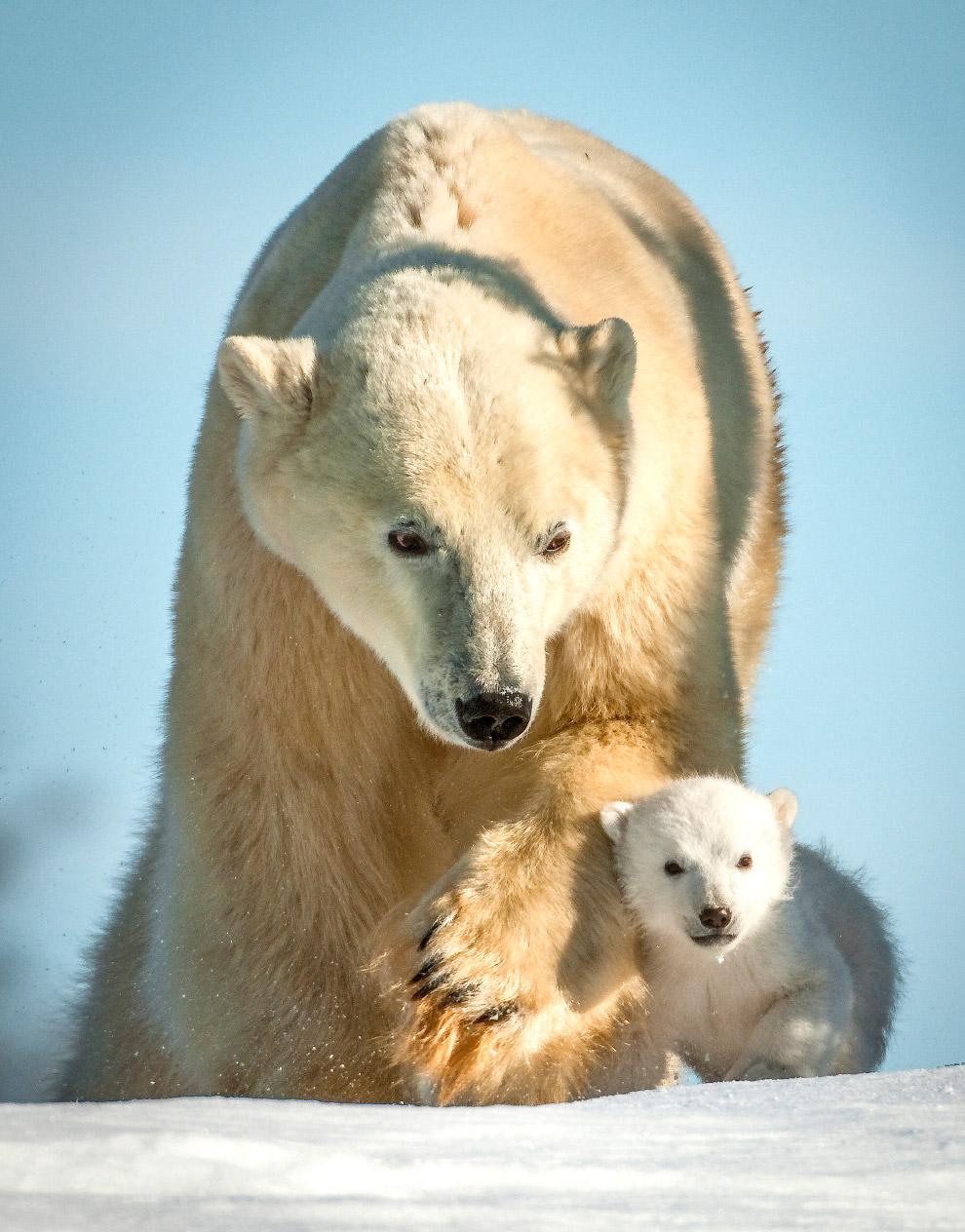 16. Случаи нападений белых медведей на людей известны из записок и отчётов полярных путешественников
