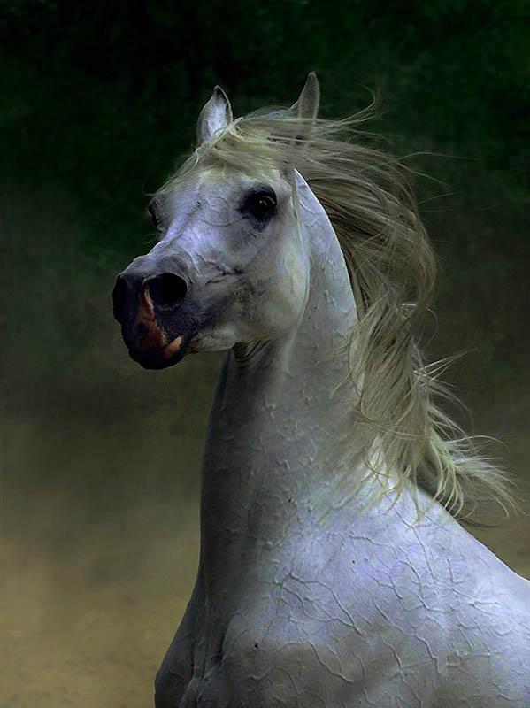 22. Сегодня в Северной Аемрике зарегистрировано больше арабских лошадей, чем во всем мире вместе взя