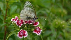 Боярышница обыкновенная (Aporia crataegi)