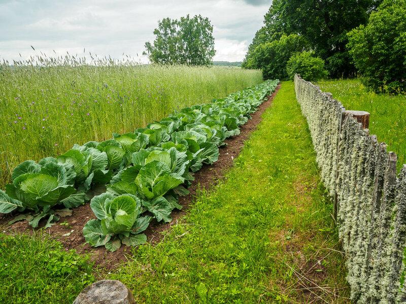 За забором усадьбы подрастает капуста.