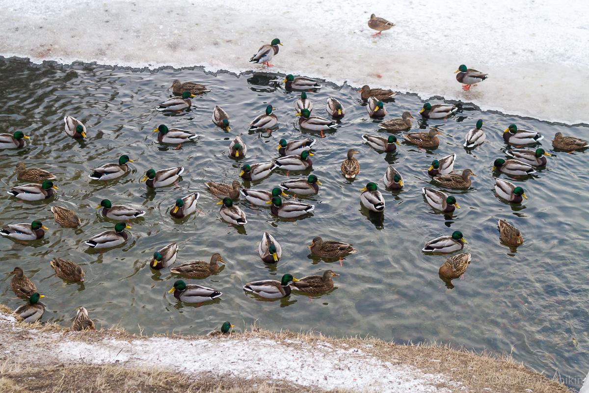 утки городской парк Саратов фото 1