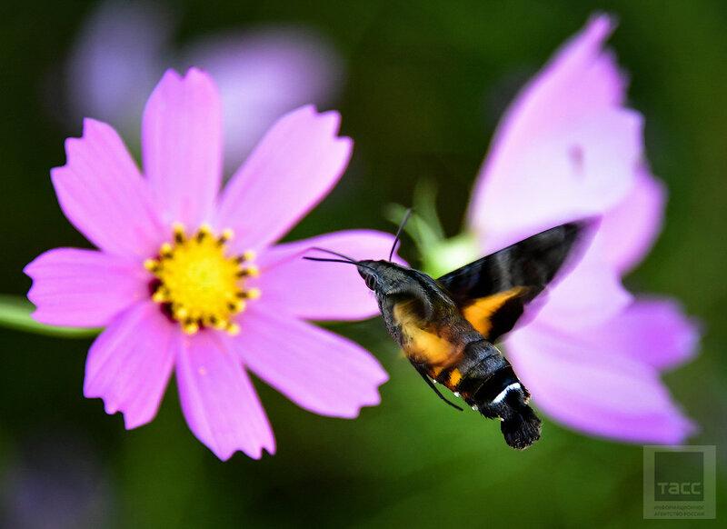 Бабочки-колибри в Тоттори. Япония