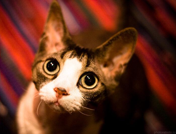 Московский кот