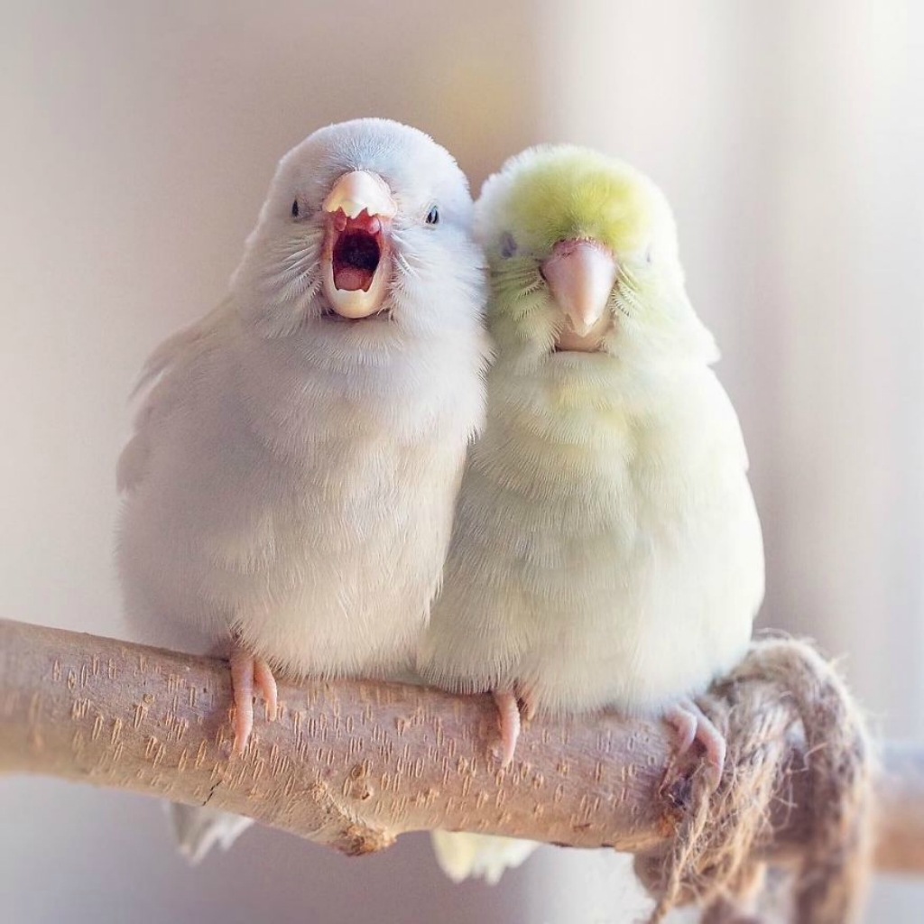 A-Storybook-Love-Between-Pastel-Parrotlets-5a83f7ce70ee3__880.jpg