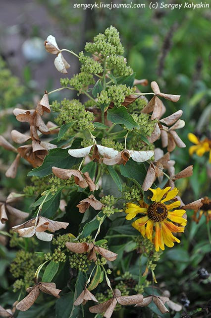 Hydrangea paniculata Butterfly Helenium.JPG