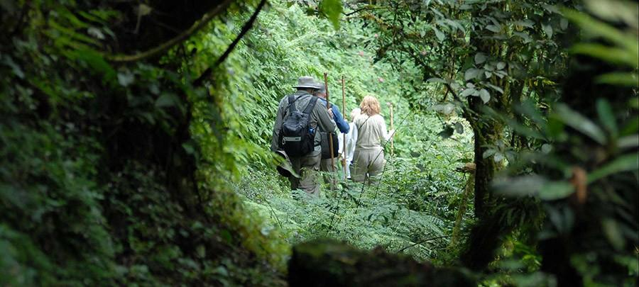 46. В густой растительности можно найти 4-5 видов «высших приматов» — горных горилл, равнинных горил