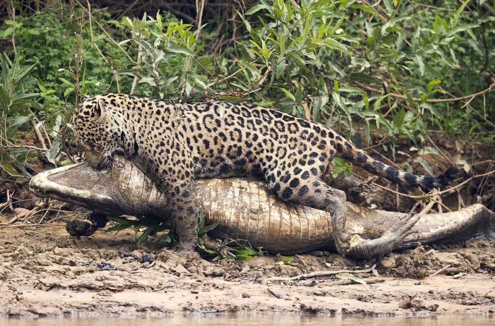 В этот раз динозавр проиграл большой кошке. (Фото Chris Brunskill Ltd):