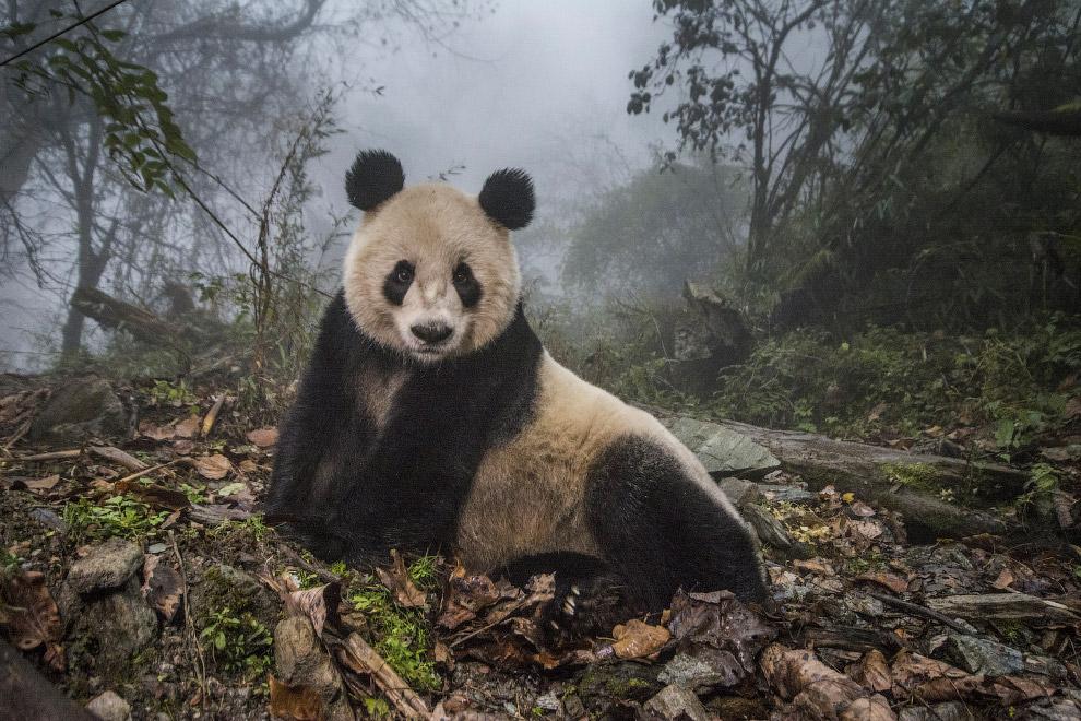 Никому не отдам. Медведь-гризли охраняет тушу бизона от воронов. (Фото Charlie Hamilton James):