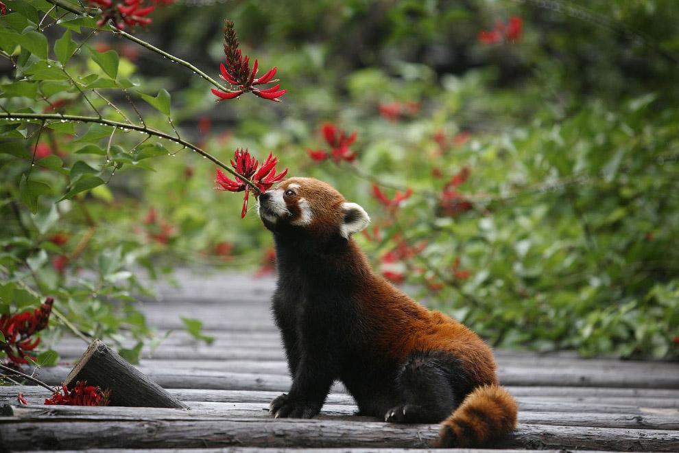 12. Это место в резервате называется «детский сад для панд». (Фото Reuters):