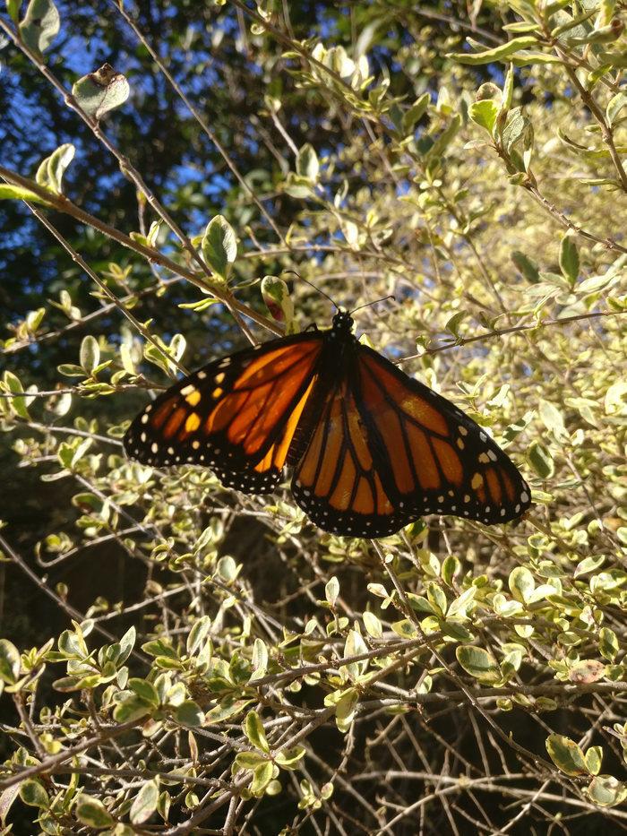 Американский модельер провела операцию по трансплантации крыла живой бабочке