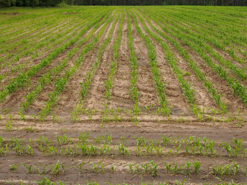 Здесь кукуруза чуть больше