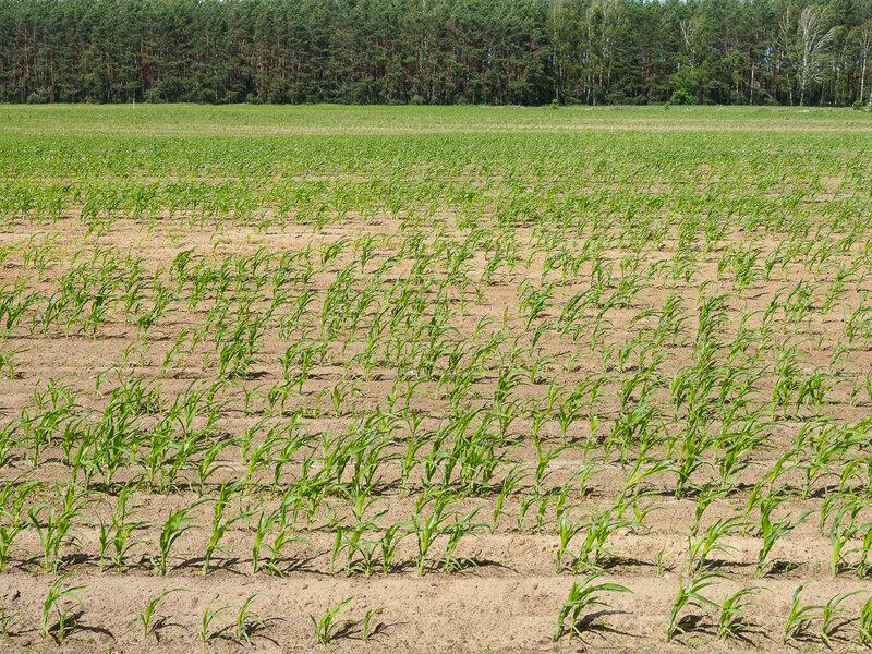 Про кукурузу здесь тоже не забывают.
