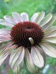 Echinacea  Caribbean Green (10).JPG