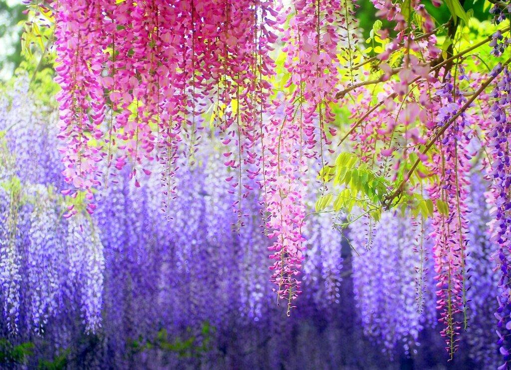 Kawachi-Fuji-Gardens-Japan-0.jpg