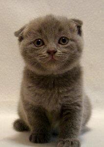 голубая шотландская вислоухая кошка
