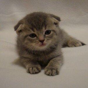 Голубой тигровый, фолдкороткошерстный кот
