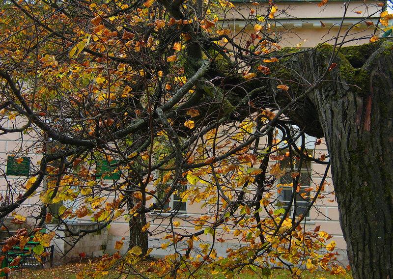 Дерево у музея