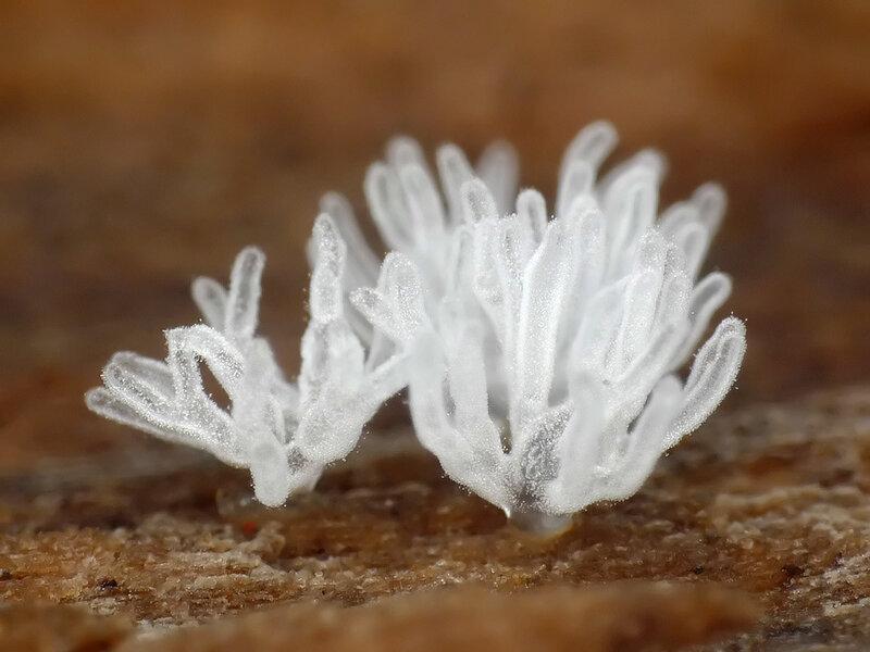 Грибы, которые совсем не грибы, Миксомицеты.