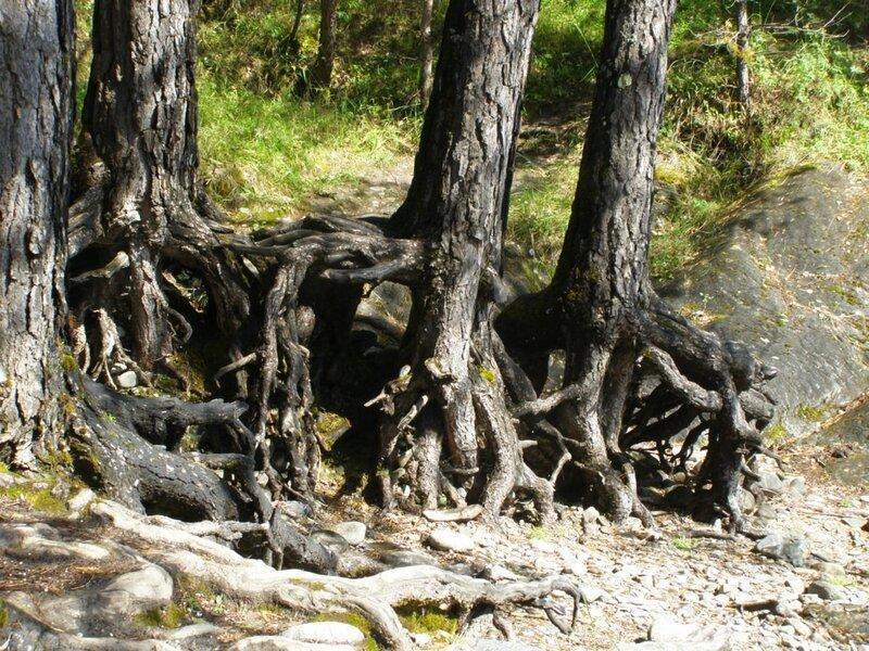 Деревья вблизи Чемальской ГЭС