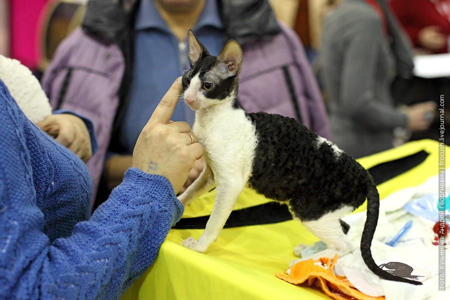 Котенок. Корниш-рекс. Биколор фотографии выставка кошек гран при Royal Canin