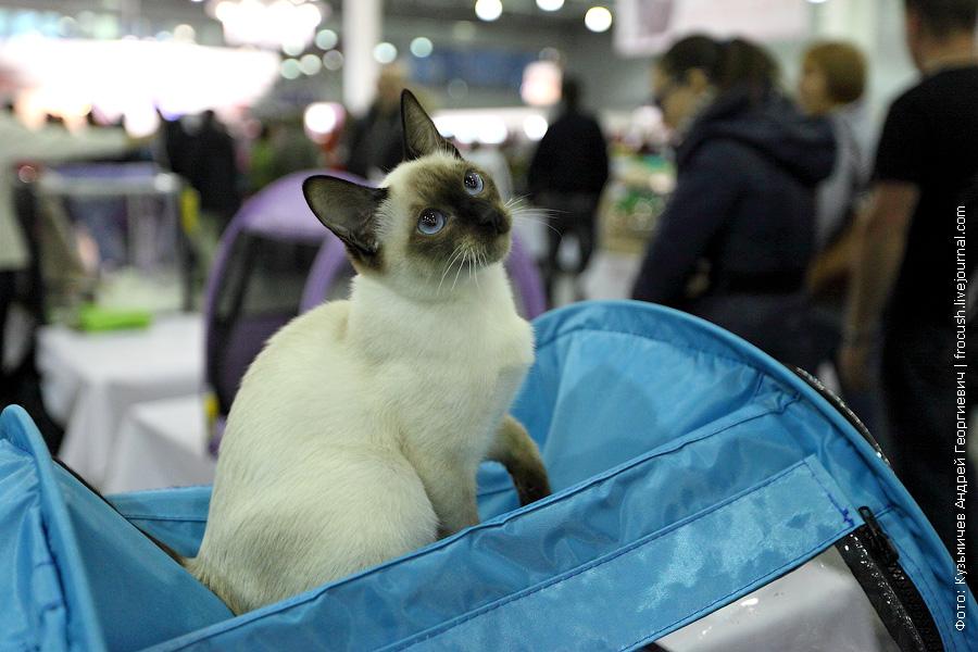 Тайская кошка выставка кошек
