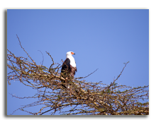 Кения. An African fish eagle perched on top of an acacia tree in the Masai Mara. Фото cabman237 - Depositphotos