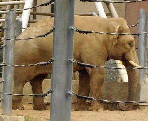 Слоны - теплолюбивые гиганты