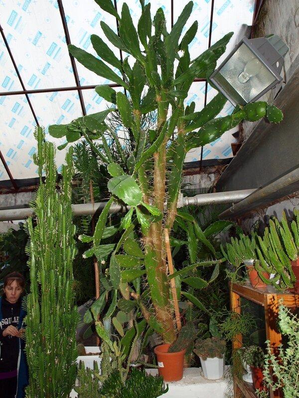 молочай и гигантский кактус