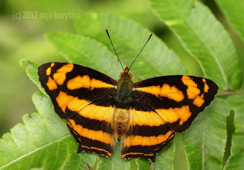 Симбренция лилея (Symbrenthia lilaea)