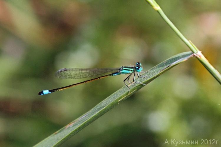 Стрелка изящная (Ischnura elegans)